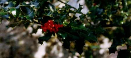 Holly berries and Christmas Wreaths